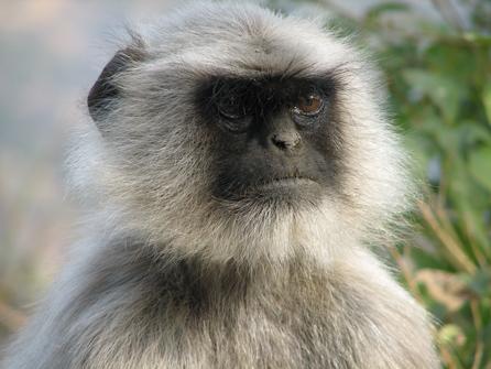 monkey_india