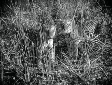 dice_tiger